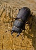 Lesser Stag Beetle, Bokoxe  (Dorcus parallelopipedus).jpg