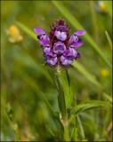 Self-heal, Brunört  (Prunella vulgaris).jpg