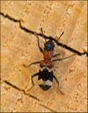 Ant Beetle, Myrbagge  (Thanasimus formicarius).jpg