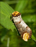 Swedish Prominent Moths, Tandvingar (Notodontidae)