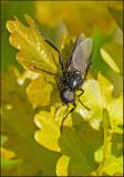 St. Mark's Fly, Skogshårmygga  (Bibio marci)male.jpg