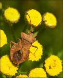 Swedish Squashbugs, Bredkantskinnbaggar (Coreidae)
