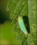 Leafhoppers, Dvärgstritar (Cicadellidae)
