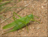 SWEDISH CRICKETS AND GRASSHOPPERS