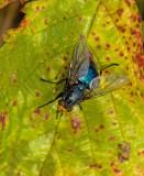 Bluebottle, (Cynomya mortuorum).jpg