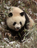 WILD Pandas of the Qinling Mountains & Foping Nature Reserve