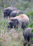 ELEPHANT - ASIAN ELEPHANT - KURI BURI NATIONAL PARK THAILAND (12).JPG