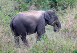 ELEPHANT - ASIAN ELEPHANT - KURI BURI NATIONAL PARK THAILAND (24).JPG