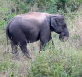 ELEPHANT - ASIAN ELEPHANT - KURI BURI NATIONAL PARK THAILAND (32).JPG