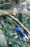 BIRD - ASIAN FAIRY-BLUEBIRD -  FEMALE - KAENG KRACHAN NP THAILAND (5).JPG
