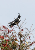 BIRD - BAZA - BLACK BAZA - KAENG KRACHAN NP THAILAND (10).JPG