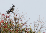 BIRD - BAZA - BLACK BAZA - KAENG KRACHAN NP THAILAND (4).JPG