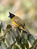 BIRD - BULBUL - BLACK-CRESTED BULBUL - KAENG KRACHAN NP THAILAND (5).JPG