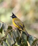 BIRD - BULBUL - BLACK-CRESTED BULBUL - KAENG KRACHAN NP THAILAND (8).JPG