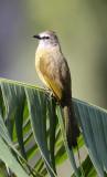 BIRD - BULBUL - FLAVESCENT BULBUL - KAENG KRACHAN NP THAILAND (4).JPG