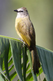 BIRD - BULBUL - FLAVESCENT BULBUL - KAENG KRACHAN NP THAILAND (5).JPG