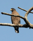 BIRD - EAGLE - CRESTED SERPENT EAGLE - KAENG KRACHAN NP THAILAND (8).JPG