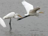BIRD - EGRET - GREAT EGRET - PETCHABURI PROVINCE, PAK THALE (10).JPG