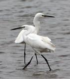 BIRD - EGRET - LITTLE EGRET - PETCHABURI PROVINCE, PAK THALE (1).JPG
