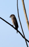 BIRD - FLCATCHER - DARK-SIDED FLYCATCHER - KAENG KRACHAN NP THAILAND (12).JPG