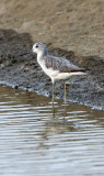 BIRD - GREENSHANK - COMMON GREENSHANK -  PETCHABURI PROVINCE, PAK THALE (10).JPG
