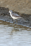 BIRD - GREENSHANK - COMMON GREENSHANK -  PETCHABURI PROVINCE, PAK THALE (9).JPG