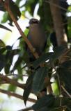BIRD - MALKOHA - GREEN-BILLED MALKOHA - KAENG KRACHAN NP THAILAND (5).JPG
