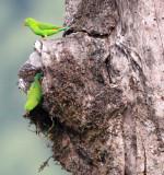 BIRD - PARROT - VERNAL HANGING PARROT - KAENG KRACHAN NP THAILAND (8).JPG