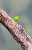 BIRD - PARROT - VERNAL HANGING PARROT - KAENG KRACHAN NP THAILAND (21).JPG
