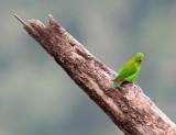 BIRD - PARROT - VERNAL HANGING PARROT - KAENG KRACHAN NP THAILAND (24).JPG
