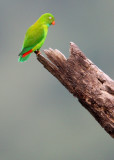 BIRD - PARROT - VERNAL HANGING PARROT - KAENG KRACHAN NP THAILAND (29).jpg