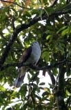 BIRD - PIGEON - MOUNTAIN IMPERIAL PIGEON  - KAENG KRACHAN NP THAILAND (10).JPG