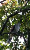 BIRD - PIGEON - MOUNTAIN IMPERIAL PIGEON  - KAENG KRACHAN NP THAILAND (7).JPG