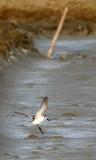 BIRD - SANDPIPER - SPOON-BILLED SANDPIPER - PETCHABURI PROVINCE, PAK THALE (5).JPG