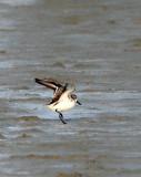 BIRD - SANDPIPER - SPOON-BILLED SANDPIPER - PETCHABURI PROVINCE, PAK THALE (7).jpg