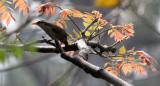 BIRD - WHITE-BROWED SCIMITAR BABBLER - KAENG KRACHAN NP THAILAND (4).JPG
