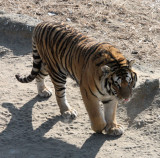FELID - TIGER - SIBERIAN TIGER - HARBIN SIBERIAN TIGER PARK - CHINA (203).JPG