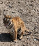 FELID - TIGER - SIBERIAN TIGER - HARBIN SIBERIAN TIGER PARK - CHINA (205).JPG