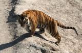 FELID - TIGER - SIBERIAN TIGER - HARBIN SIBERIAN TIGER PARK - CHINA (208).JPG