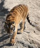 FELID - TIGER - SIBERIAN TIGER - HARBIN SIBERIAN TIGER PARK - CHINA (211).JPG