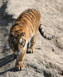 FELID - TIGER - SIBERIAN TIGER - HARBIN SIBERIAN TIGER PARK - CHINA (212).JPG