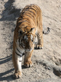 FELID - TIGER - SIBERIAN TIGER - HARBIN SIBERIAN TIGER PARK - CHINA (213).JPG