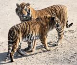 FELID - TIGER - SIBERIAN TIGER - HARBIN SIBERIAN TIGER PARK - CHINA (152).JPG