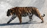 FELID - TIGER - SIBERIAN TIGER - HARBIN SIBERIAN TIGER PARK - CHINA (164).JPG
