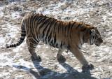 FELID - TIGER - SIBERIAN TIGER - HARBIN SIBERIAN TIGER PARK - CHINA (170).JPG
