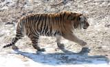 FELID - TIGER - SIBERIAN TIGER - HARBIN SIBERIAN TIGER PARK - CHINA (178).JPG