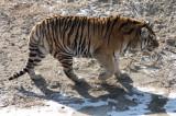 FELID - TIGER - SIBERIAN TIGER - HARBIN SIBERIAN TIGER PARK - CHINA (180).JPG