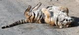 FELID - TIGER - SIBERIAN TIGER - HARBIN SIBERIAN TIGER PARK - CHINA (131).JPG