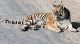 FELID - TIGER - SIBERIAN TIGER - HARBIN SIBERIAN TIGER PARK - CHINA (137).JPG