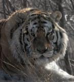 FELID - TIGER - SIBERIAN TIGER - HARBIN SIBERIAN TIGER PARK - CHINA 53.JPG